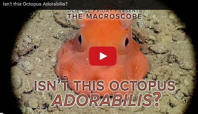 Isn't this Octopus Adorabilis?