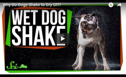 Why Do Dogs Shake to Dry Off?