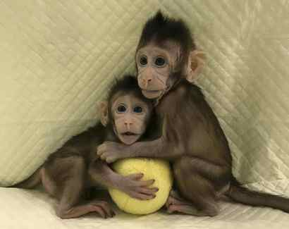 Scientists clone monkey for first time, moving closer to prospect of human cloning – Globe and Mail