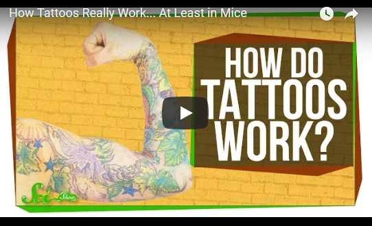 How Tattoos Really Work… At Least in Mice