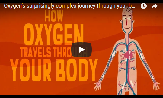Oxygen's surprisingly complex journey through your body – TED Ed