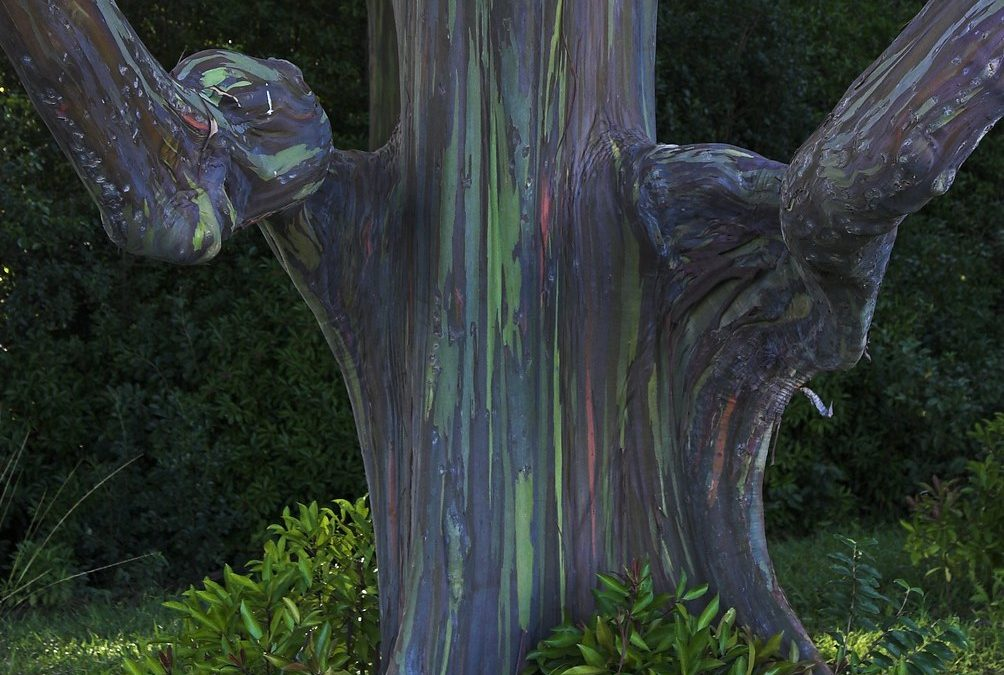 Rainbow Eucalyptus: The Most Beautiful Tree in the World – submitted by Kris Lee