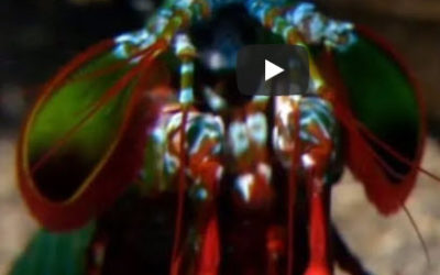 Mantis Shrimp Packs a Punch | Predator in Paradise – National Geographic
