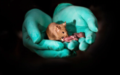 Same-sex mouse parents give birth via gene editing – lesson materials submitted by Leila Knetsch